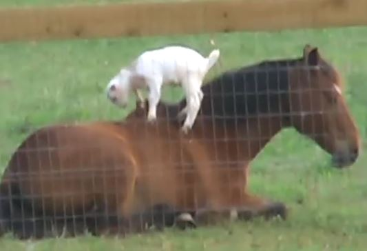 Watch Baby Goat Gives Horse A Massage The Horseaholic