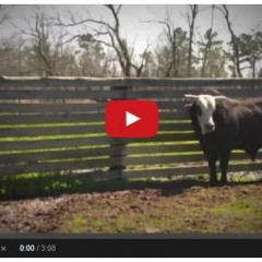 Watch The Most Impressive Bull You'll Ever See – Athlete Profile: Mick E Mouse (PBR)