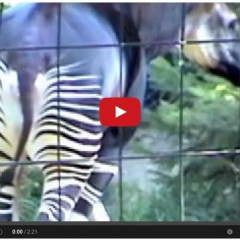 Horse – Zebra – Giraffe Cross Breed – The Okapi – So Strange!