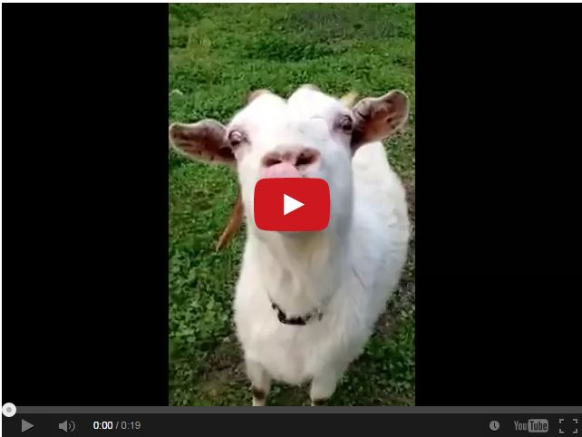 Watch This Crazy Goat Give A Tongue Lashing The