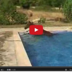 Watch This Horse Take A Swim In Someones Backyard Pool!!