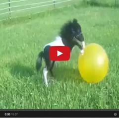 Watch Beau The Miniature Horse Having A Ball!!!!