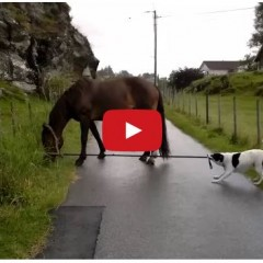 Watch This Dog Take His Horse For A Walk!