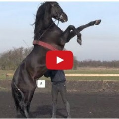 Watch Majestic Horses In Action Doing Tricks!!