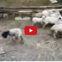 Watch The Sheep Wearing A Mask Terrifying His Friends – He Doesn't Understand Why