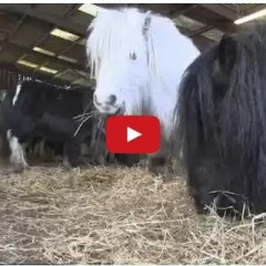 Watch A Family Herd Of Pregnant Shetland Ponies Get Rescued