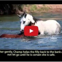 Watch Wild Stallion Rescues Filly From Drowning