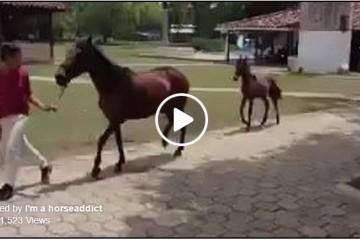 peruvian foal
