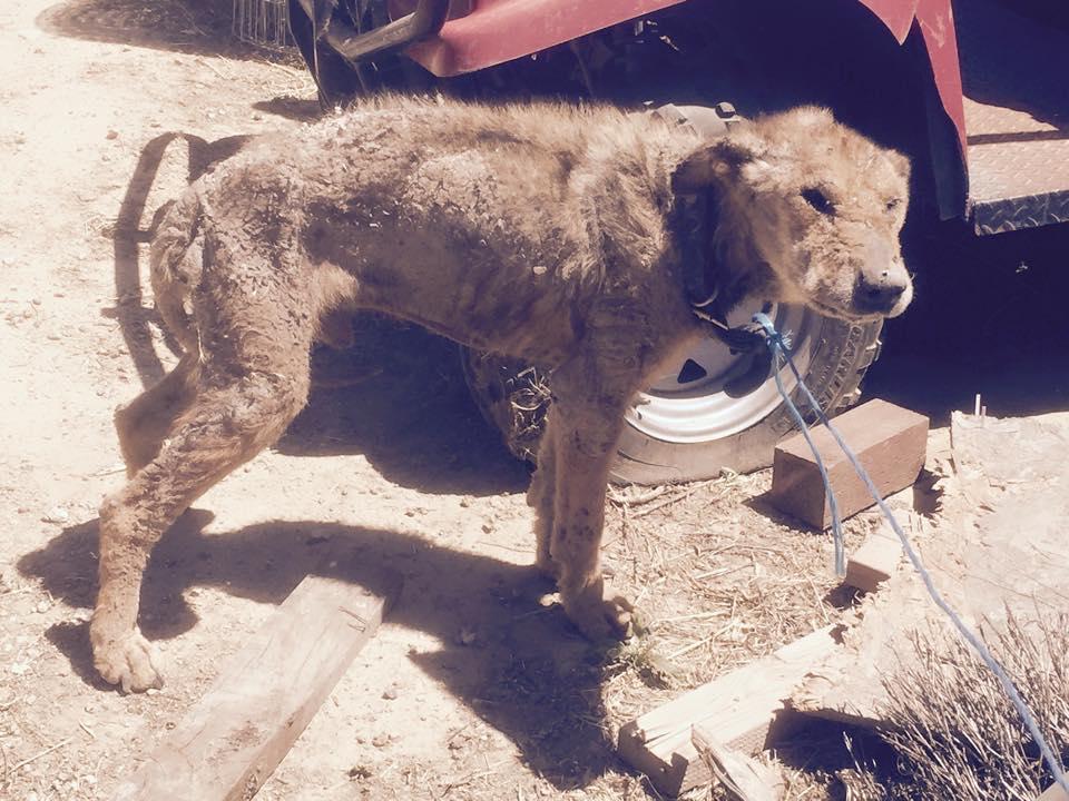 abused german shepherd