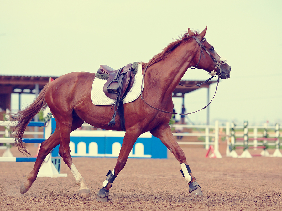 The Sports Horse Trots. thoroughbred