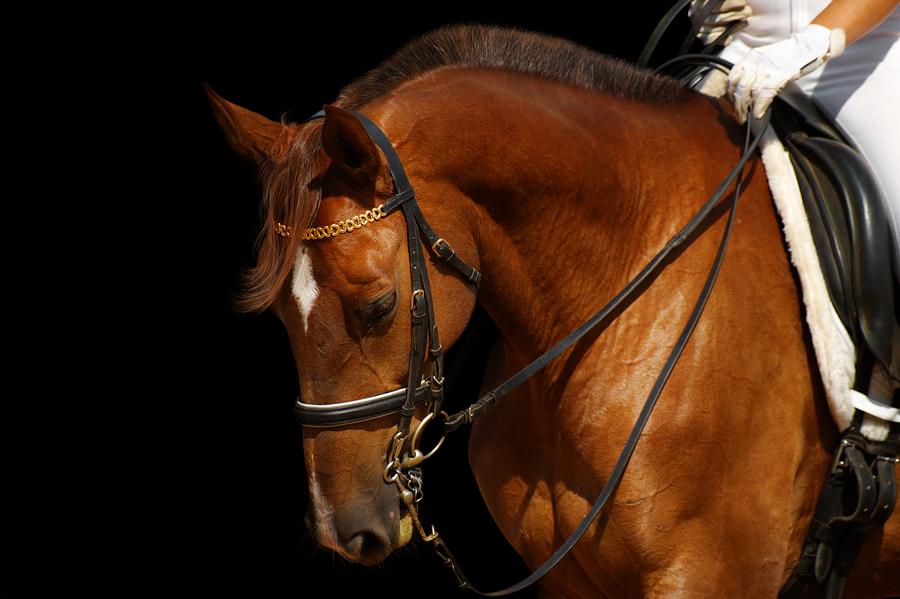 dressage, sorrel horse - isolated on black