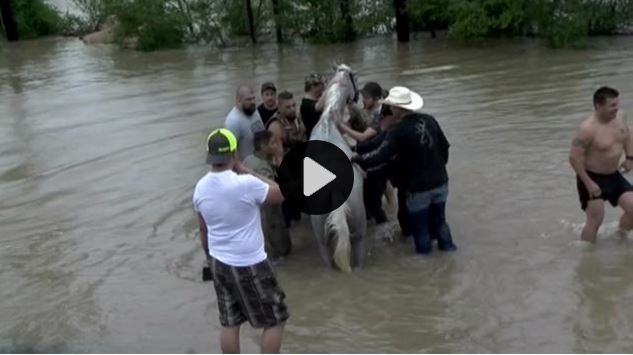 Horses Caught In Houston Flood Fight For Their Lives The