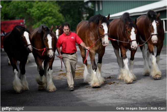 DREAM JOB OPENING Working With Budweiser Clydesdales Now Hiring The Horseaholic