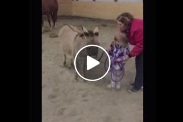 donkey showmanship