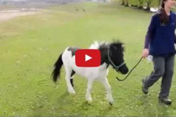 miniature horse prosthetic
