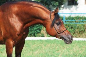 Portrait Of Beautiful Arabian Stallion