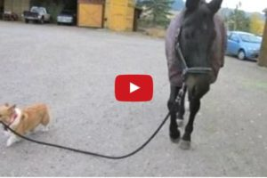 funny dogs walking horses