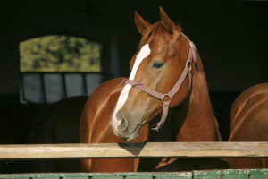 Young thoroughbred arabian horse standing in the stable door