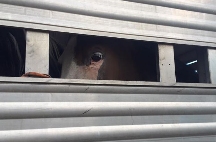Horses in a trailer bound for slaughter before HiCalber stepped in. Photo From HiCalber Facebook.