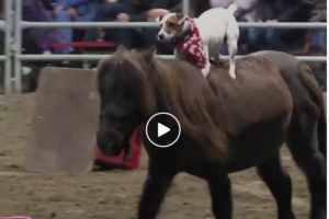 jack-russell-riding-miniature-horse