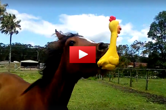 Silly Horse Loves Playing With His Squeaky Chicken Toy