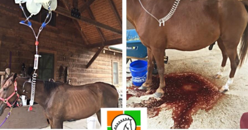 Danger Of Red Maple Toxicity In Horses The Horseaholic